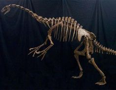 NOTHRONYCHUS SKELETON | This reconstructed skeleton of Nothronychus graffami shows the ...