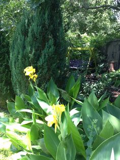 These old fashioned cannas bloom all summer and into fall.