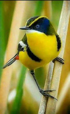 ATLANTIC FOREST 39 AVES DOLLARS 2018 LOVEBIRD FANTASY