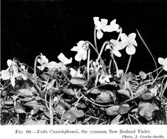 Cunninghamii, the common New Zealand Violet.[Photo, J. Alpine Plants, Fig, New Zealand, Painting, Painting Art, Ficus, Paintings, Painted Canvas, Figs