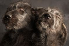Lionheart & Livith 9 week old Irish Wolfhound pups by photographer Paul Croes