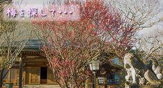 【埼玉】梅を探して埼玉県坂戸市を散歩してきました | Naisanpo