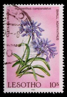 LESOTHO - alrededor de 1985: Una marca de 10-sente impresa en el Reino de Lesotho muestra flores y plantas de la pequeña agapanthus, Agapanthus campanulatus, alrededor de 1985