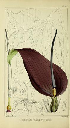Refugium Botanicum, illustration by W H Fitch - 1871