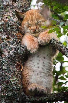 Des faux-airs de peluche pour enfants. Ce magnifique bébé lynx a choisi la cime des arbres pour une sieste improvisée, en pleine journée.