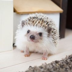 You have to feed hedgehogs a heathy diet which depends to what type of activity they are engaged to and to their metabolism. Super Cute Puppies, Super Cute Animals, Cute Little Animals, Cute Dogs, Cute Animal Memes, Cute Animal Pictures, Funny Animals, Hedgehog Pet, Cute Hedgehog