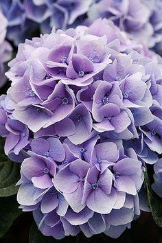 Gorgeous Purple Hydrangeas