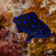 Dascyllus Trimaculatus - Fluwelen juffertje - Jewel Damselfish - one of my faves I've seen snorkeling Saltwater Aquarium, Aquarium Fish, Salt And Water, Snorkeling, Under The Sea, Ocean, Seahorses, Corals, Aquariums