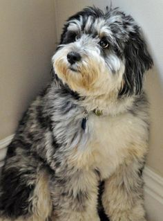 temperament of aussiedoodles - Google Search