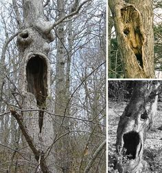 Scary, Creepy & Bizarre Trees - Screaming Tree on left is in Hither Hills State Park, near Montauk, NY