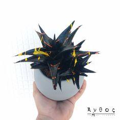 Aloe Ami Black  Ένα φυτό με ξεχωριστά και μυτερά φύλλα, βαμμένο με ειδκό χρώμα για λουλούδια, που κάνει την όψη του ακόμη πιο μοναδική! Ιδανικό τόσο για εσωτερικούς όσο και για εξωτερικούς χώρους, χωρίς μεγάλες ανάγκες για νερό! Στείλε φυτά, άμεσα, σε όλη τη Θεσσαλονίκη! 🛒 www.anthos.com.gr #plants #anthos_theartofflowers #thessaloniki #anthosthessaloniki #plantsmakepeoplehappy #plantsarefriends #plant #indoorplants #houseplantsofinstagram #plantshop #gift #aloe #aloeveraplant…