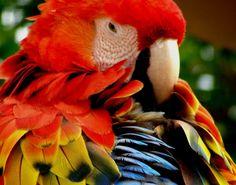 arara-vermelha-penas.jpg 750×588 pixels