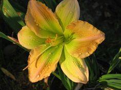 Daylily (Hemerocallis 'Swamp Dust') uploaded by MAINIAC