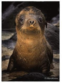 Sea Lion pup in Galapagos by Rick Sammon Photography