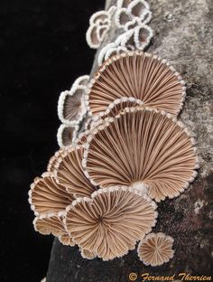 Schizophyllum commune sprouting from a tree trunk