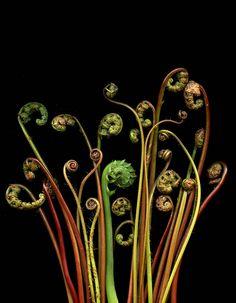 Sammen med bregner af forskellig art Unfurling fronds of sensitive fern (Onoclea sensibilis), maidenhair fern (Adiantum pedatum), & ostrich fern (Matteuccia struthiopteris) Spirals In Nature, Inspiration Artistique, Foliage Plants, Potted Plants, Indoor Plants, Arte Floral, Exotic Plants, Patterns In Nature, Land Art