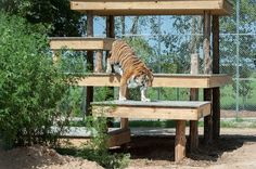 (TIGERS/ANIMAL PICTURES/WILDLIFE CONSERVATION) The HSUS and Fund for Animals rescues four tigers, transports them to Cleveland Amory Black Beauty Ranch in Texas.