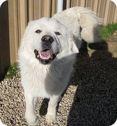 Pilot Point, TX - Great Pyrenees Mix. Meet IAN, a dog for adoption. http://www.adoptapet.com/pet/12247659-pilot-point-texas-great-pyrenees-mix