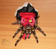 Gaia the tarantula.   I don't care how afraid of spiders you are, a tarantula in a frilly dress is adorable.