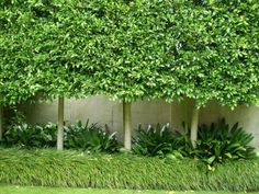 Pleached Ficus hillii/ remove 3' wide tile flr frm wall edge. Plant 30; ficus trees. Form privacy fence above stucco wall. I hv seen in Beverly Hills.