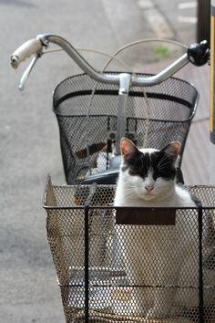 This cat lives on a bicycle in central Matsuyama.