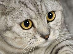 Wow! Britisch Kurzhaar Katze mit Tabbyzeichnung und gelben Augen — Bild: Shutterstock / Eric Isselee    www.einfachtierisch.de