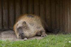 Capybara, Nocturnal Animals, Eat Fruit, Aquatic Plants, Brown Bear, Predator, Pets, Water Plants, Animals And Pets