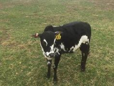 Miniature Zebu Cattle, Kunekune Pigs, and Other Exotics For Sale Miniature Cow Breeds, Miniature Cattle, Lowline Angus, Zebu Cattle, Types Of Cows, Mini Cows, Deer Drawing, Longhorn Cow