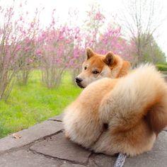 Kai Ken, Animals And Pets, Cute Animals, Japanese Akita, Dog Boarding, Shiba Inu, I Love Dogs, Animals Beautiful, Needle Felting