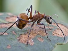 Fish-hook Ant (Polyrhachis bihamata)  …a species of formicine ant that is native to Cambodia.