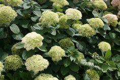 Lime+Rickey®+-+Smooth+hydrangea+-+Hydrangea+arborescens