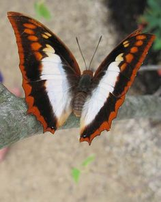 Flame-bordered charaxes, (Charaxes protoclea), African forest butterfly