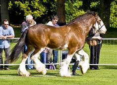 Clydesdale Horse Show by MussoMan, via Flickr. CAN I PLEASE HAVE ONE OF THESE??? PLEEEEEEEASE??