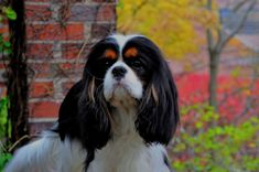 If You Love to Travel, These Dog Breeds Make the Perfect Sidekick King Charles Spaniel, Cavalier King Charles, Best Dog Breeds, Best Dogs, Equine Photography, Animal Photography, Spaniel Dog, Spaniels, 15 Dogs