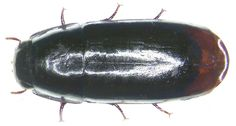 Family: Carabidae Size: 6 mm Location:  Australia, Sidney leg. 1997; det. M.Baehr Photo: U.Schmidt, 2007