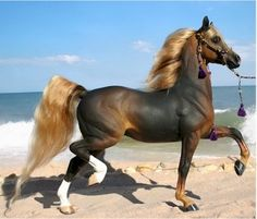 Black Chestnut Arabian horse trotting by the sea. BeAuTiFuL . (Interesting color)