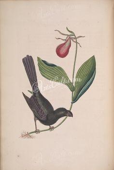 Razor-billed Blackbird of Jamaica      ...