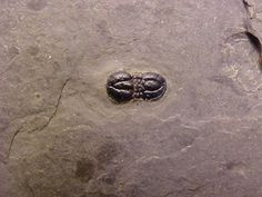 Ptychagnostus atavis Agnostid Trilobites   Ptychagnostus atavus   Order Agnostida, Suborder Agnostina, Superfamily Agnostoidea, Family Ptychagnostidae  Geological Time: Middle Cambrian   Size: 3 mm - 4.5 mm  Fossil Site: Lower Wheeler Formation, Millard County, Utah