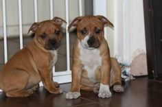 red staffordshire bull terrier puppies for sale uk