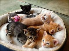 Kitten Season: What To Do If You Find A Kitten Or Kittens Once the kittens are eating solid food is the time to take action. Capture or trap mama and her kittens and bring them inside. Newborn Kittens, Baby Kittens, Cute Cats And Kittens, Kittens Cutest, Ragdoll Kittens, Funny Kittens, Bengal Cats, White Kittens, Kitty Cats