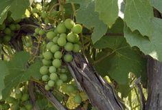 PLANTIO EM CASA: uva Vitis é ideal para áreas com pouco espaço.