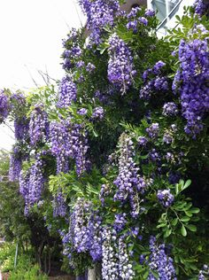 """Texas Mountain Laurel, Texas-sized. Yes, I know it looks like wisteria, but it's not."""