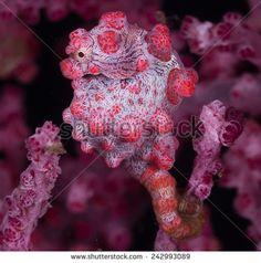Cute Pigmy Seahorse Barbigianti