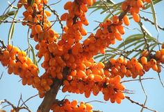 Sea Buckthorn is used to treat specific diseases of children, feelings of avitaminosis, recovering from measles, whooping cough and colds.Two cups of tea...