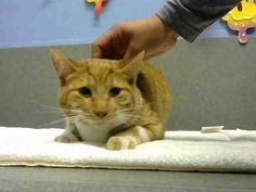 URGENT!! #A444265 (Moreno Valley, CA) Male, orange tabby and white Domestic Shorthair. SIBLINGS ARE A444266 & A444267.  1 year. I have been at the shelter since Jan 02, 2015 and I may be available for adoption on Jan 09, 2015 at 5:24PM.  For more information about this animal, call: Moreno Valley Animal Services at (951) 413-3790 Ask for information about animal ID number A444265