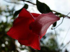 Copihue, flor de la Nahuelbuta