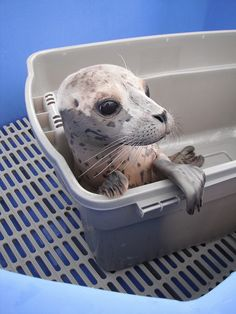 Pacific Harbor Seal Pup >>  โคตร น่ารัก !!  ^^ I love you :-P