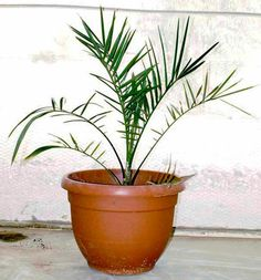 Picture of a Methuselah date palm