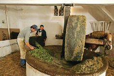 ancient olive mill in Italy since 1600 every year it brings back traditions of olive oil making