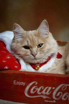 Santa Brings Gifts For Kitties, Too Everything is about cats all of the time, and Christmas is no exception. See why cats think all the holiday spirit is in celebration of THEM. Pretty Cats, Beautiful Cats, Animals Beautiful, Cute Animals, Animals Images, Cute Cats And Kittens, Cool Cats, Kittens Cutest, Christmas Animals